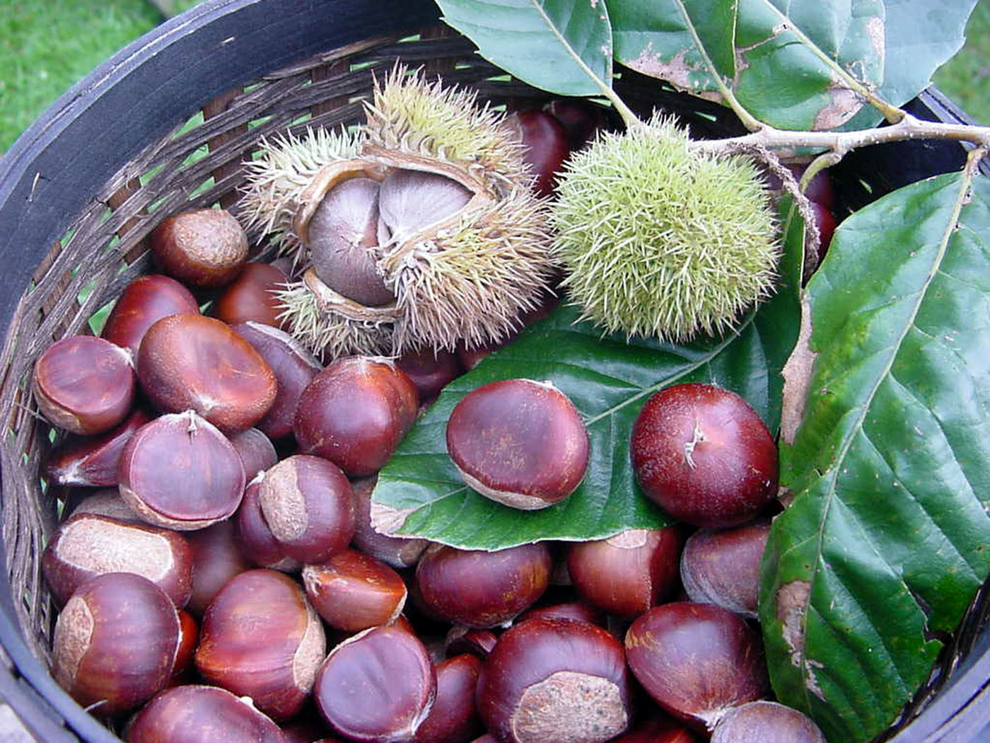 Is chestnut a nut allergy foodie thrive with top 8 for The chestnut